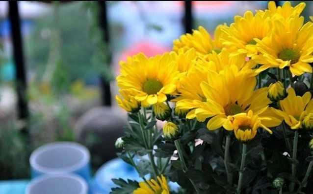 Cắm hoa cúc vàng để bàn thờ đẹp và tươi lâu