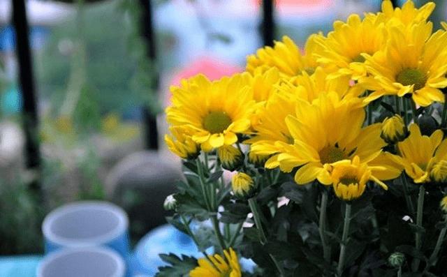 Hoa cúc vàng - Loài hoa giàu ý nghĩa
